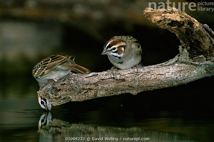 Lark sparrow {Chondestes grammacus} on branch drinking, Texas, USA.  ,  BIRDS,DRINKING,HORIZONTAL,HUMOROUS,PASSERINES,SPARROWS,USA,VERTEBRATES,WATER,North America,Concepts  ,  David Welling