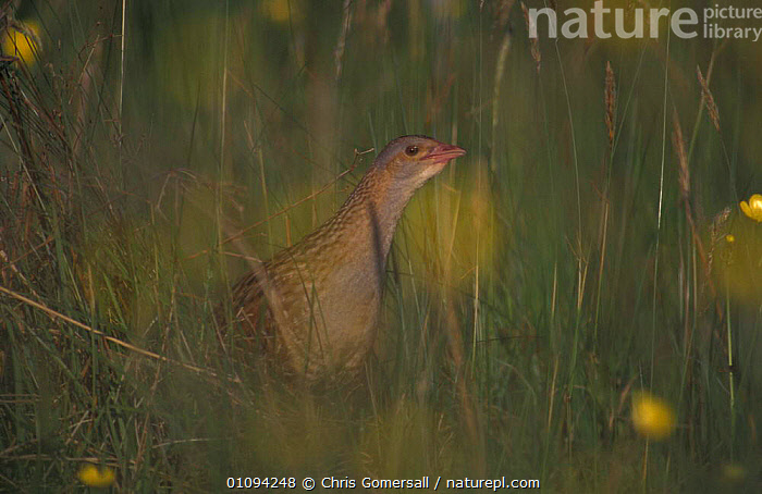 Adult Corncrake in hay meadow {Crex crex} Isle of Coll, Scotland, UK  ,  MEADOWLAND,BIRDS,CRAKES,EUROPE,FIELDS,MEADOWS,FARMLAND,Grassland , Inner Hebrides,UK,United Kingdom  ,  Chris Gomersall