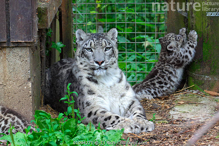 Snow leopard mother and cubs in cage (Panthera uncia} native to Himalayas. Endangered species.  ,  CAGE,CAPTIVE,CARNIVORES,FAMILIES,FEMALES,JUVENILE,MAMMALS,SCRATCHING,THREATENED,TRI,YOUNG,ZOOS,LEOPARDS,BIG CATS,WEATHER  ,  TJ Rich