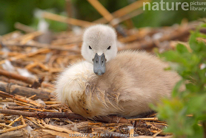 Very young Mute swan cygnet at nest {Cygnus olor} Dorset, England, UK, Europe  ,  BABIES,BABY,BRITAIN,BRITISH,CUTE,CYGNETS,FACE,FACES,FEATHERS,FLUFFY,FOWL,JUVENILE,NESTS,ONE,TRI,WATER,WATERFOWL,WILDLIFE,YOUNG,EUROPE,UNITED KINGDOM,WILDFOWL, Waterfowl  ,  TJ Rich