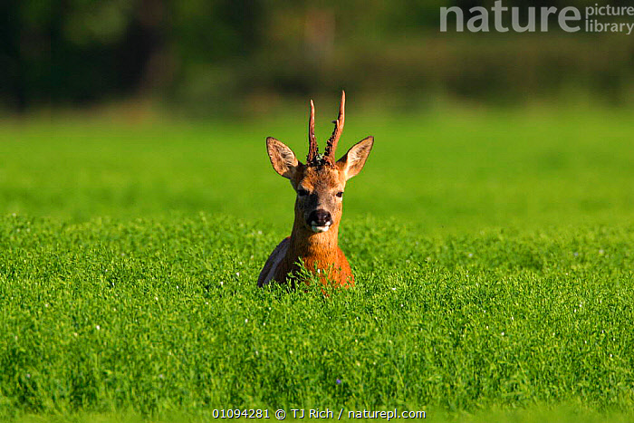 Roe deer {Capreolus capreolus} in field, England, UK, Europe  ,  ANTLERS,ARTIODACTYLA,BRITAIN,BRITISH,COUNTRYSIDE,CROPS,FIELDS,GRASS,HEADS,HORIZONTAL,JUVENILES,LOOKING,MALE,MALES,MAMMALS,ONE,PLANTS,TRI,VEGETATION,WILDLIFE,EUROPE,UNITED KINGDOM  ,  TJ Rich
