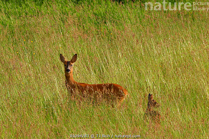 Female Roe deer {Capreolus capreolus} with fawn in grass field England, UK, Europe  ,  ALERT,ARTIODACTYLA,BRITAIN,BRITISH,CROPS,FEMALES,FIELDS,GRASS,HORIZONTAL,LOOKING,MAMMALS,MOTHER,PLANTS,PROFILE,SINGLE,TRI,WILDLIFE,YOUNG,EUROPE,UNITED KINGDOM  ,  TJ Rich