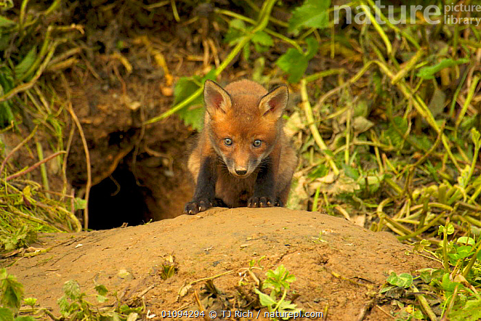 Very young Red fox cub {Vulpes vulpes} emerging from den, England, UK, Europe  ,  BABIES,BABY,BRITAIN,BRITISH,CANIDAE,CARNIVORE,CARNIVORES,CUTE,DENS,HOMES,HORIZONTAL,JUVENILE,MAMMALS,TRI,WILDLIFE,EUROPE,UNITED KINGDOM,DOGS,CANIDS  ,  TJ Rich