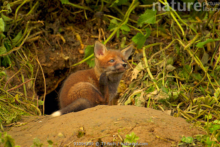 Very young Red fox cub scratching itself outside of den entrance {Vulpes vulpes} England, UK, Europe  ,  BABIES,BABY,BRITAIN,BRITISH,CANIDAE,CARNIVORE,CARNIVORES,CUBS,DENS,FOXES,GROOMING,HOMES,HORIZONTAL,MAMMALS,TRI,WILDLIFE,EUROPE,UNITED KINGDOM,DOGS,CANIDS  ,  TJ Rich