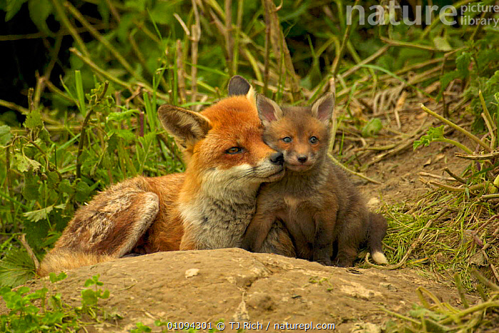 Female Red fox {Vulpes vulpes} with cub, intimate portrait of affection and close bond between mother and young, England, UK, Europe  ,  AFFECTIONATE,BABIES,BABY,BEHAVIOUR,BONDING,BRITAIN,BRITISH,CANIDAE,CARNIVORE,CARNIVORES,CUTE,FAMILIES,FEMALES,FOXES,HORIZONTAL,JUVENILE,MAMMALS,MATERNAL,MOTHERS,PARENTAL,SOCIAL,TRI,TWO,WILDLIFE,EUROPE,UNITED KINGDOM,CONCEPTS,DOGS,CANIDS,GettyBOV  ,  TJ Rich