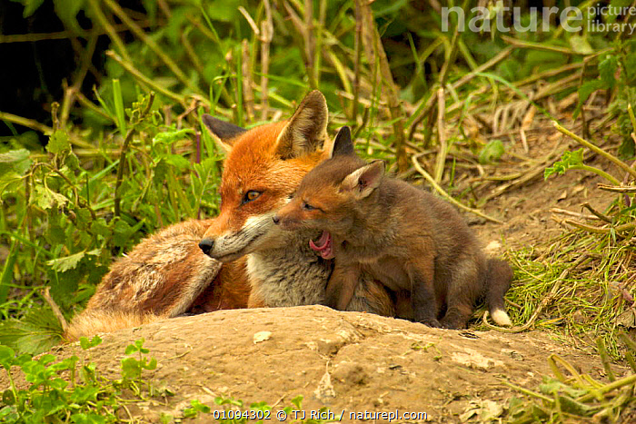 Mother and cub Red fox {Vulpes vulpes}, young cub yawning, near den, England, UK, Europe  ,  AMUSING,BABIES,BEHAVIOR,BEHAVIOUR,BONDING,BRITAIN,BRITISH,CANIDAE,CARNIVORE,CARNIVORES,CUBS,CUTE,DENS,FAMILIES,FEMALES,FOXES,GROUPS,HORIZONTAL,HUMOROUS,HUMOUROUS,INTIMATE,JUVENILE,MAMMALS,MATERNAL,PARENTAL,PORTRAITS,RESTING,SOCIAL,TIRED,WILDLIFE,EUROPE,UNITED KINGDOM,CONCEPTS,DOGS,CANIDS  ,  TJ Rich