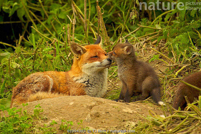 Mother and cub Red fox {Vulpes vulpes} showing affectionate bonding behaviour, England, UK, Europe  ,  BABIES,BRITAIN,BRITISH,CANIDAE,CANIDS,CARNIVORE,CARNIVORES,CUTE,DOGS,ENGLAND,EUROPE,FAMILIES,FEMALE,FEMALES,MAMMALS,TRI,UK,UNITED KINGDOM,WILDLIFE,YOUNG  ,  TJ Rich