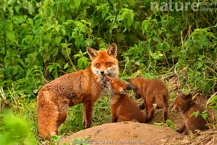 Red fox mother with cubs {Vulpes vulpes} outside den, young interacting with their mother, England, UK, Europe  ,  BABIES,BRITAIN,BRITISH,CANIDAE,CARNIVORE,CARNIVORES,CUBS,ENGLAND,EUROPE,FAMILIES,MAMMALS,TRI,UK,WILDLIFE,YOUNG,UNITED KINGDOM,DOGS,CANIDS  ,  TJ Rich