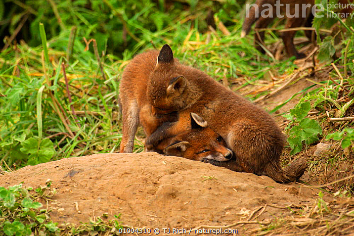 Young Red fox cubs {Vulpes vulpes} play fighting outside of den, England, UK, Europe  ,  BABIES,BABY,BEHAVIOR,BEHAVIOUR,BRITAIN,BRITISH,CANIDAE,CARNIVORE,CARNIVORES,FOXES,HORIZONTAL,INTERACTION,JUVENILE,JUVENILES,MAMMALS,PLAYFIGHTING,PLAYFUL,PLAYING,SOCIAL,TRI,TWO,WILDLIFE,EUROPE,UNITED KINGDOM,DOGS,CANIDS  ,  TJ Rich