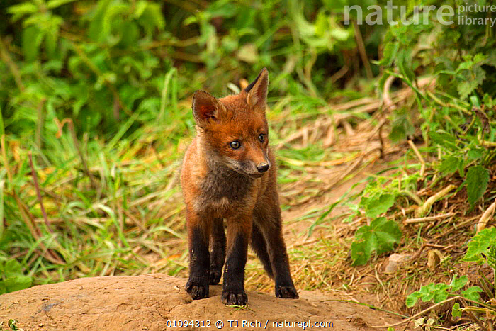 Solitary young Red fox cub {Vulpes vulpes} outside of den, looking curious, England, UK, Europe  ,  ALERT,ALONE,BABIES,BRITAIN,BRITISH,CANIDAE,CARNIVORE,CARNIVORES,CUBS,CUTE,DEN,FOXES,HOMES,HORIZONTAL,MAMMALS,ONE,PORTRAITS,TRI,WILDLIFE,EUROPE,UNITED KINGDOM,DOGS,CANIDS  ,  TJ Rich