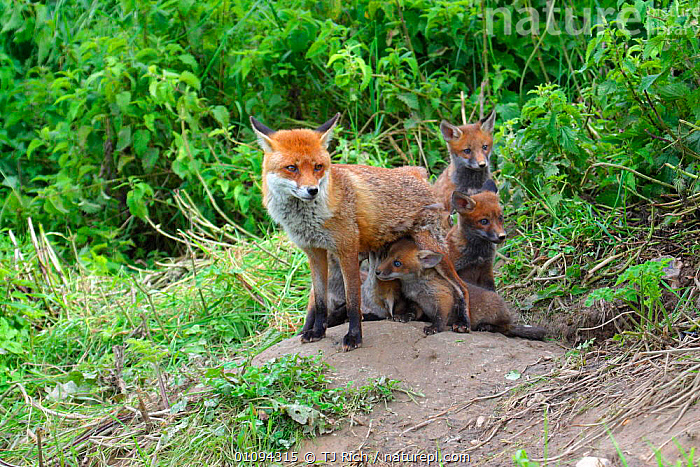 Red fox mother suckling cubs {Vulpes vulpes} outside of den, England, UK, Europe  ,  BABIES,BRITAIN,BRITISH,CANIDAE,CARNIVORE,CARNIVORES,CUB,CUBS,ENGLAND,EUROPE,FAMILIES,FEEDING,FEMALE,FEMALES,FOX,FOXES,GROUPS,HOMES,MAMMALS,SUCKLING,TRI,UK,WILDLIFE,YOUNG,UNITED KINGDOM,DOGS,CANIDS  ,  TJ Rich