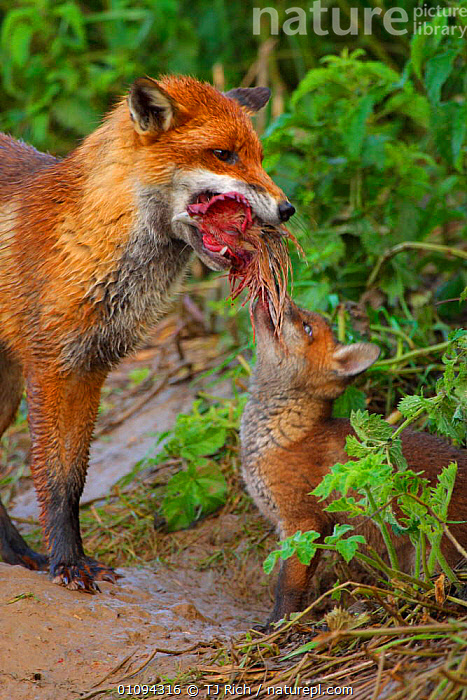 Young Red fox cub {Vulpes vulpes} begs for food (chicken) from mother, England, UK, Europe  ,  BABIES,BEGGING,BIRDS,BRITAIN,BRITISH,CANIDAE,CARNIVORE,CARNIVORES,CUBS,FEEDING,FEMALE,FOXES,MAMMALS,MATERNAL,PARENTAL,PREY,TRI,VERTICAL,WILDLIFE,EUROPE,UNITED KINGDOM,DOGS,CANIDS  ,  TJ Rich