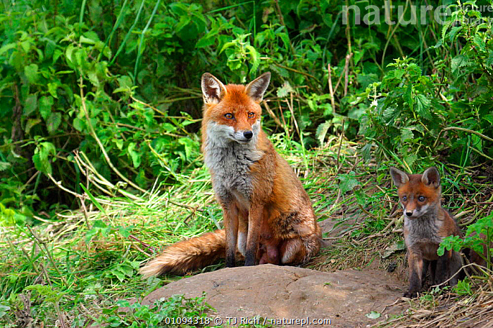 Red fox mother with cub {Vulpes vulpes} sitting by den entrance, England, UK, Europe  ,  BABIES,BRITAIN,BRITISH,CANIDAE,CARNIVORE,CARNIVORES,CUBS,DENS,FAMILIES,FAMILY,FOXES,GROUPS,HOMES,JUVENILE,MAMMALS,MOTHERS,PARENT,PORTRAITS,TRI,WILDLIFE,YOUNG,EUROPE,UNITED KINGDOM,DOGS,CANIDS  ,  TJ Rich