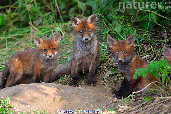 Three curious Red fox cubs {Vulpes vulpes} at den entrance, England, UK, Europe  ,  ALERT,BABIES,BRITAIN,BRITISH,CANIDAE,CARNIVORE,CARNIVORES,CUTE,FACES,FAMILIES,FAMILY,FOXES,GROUPS,HOMES,HORIZONTAL,JUVENILE,MAMMALS,THREE,TRI,WILDLIFE,YOUNG,EUROPE,UNITED KINGDOM,DOGS,CANIDS  ,  TJ Rich