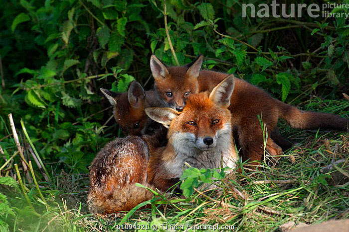 Red fox mother and cubs {Vulpes vulpes} England, UK, Europe  ,  BABIES,BRITAIN,BRITISH,CANIDAE,CARNIVORE,CARNIVORES,CUB,FAMILIES,FAMILY,FEMALE,FEMALES,FOXES,HOMES,HORIZONTAL,JUVENILE,MAMMALS,MOTHERS,PLAY,PLAYFUL,PLAYING,PORTRAITS,TRI,WILDLIFE,YOUNG,EUROPE,UNITED KINGDOM,COMMUNICATION,DOGS,CANIDS  ,  TJ Rich