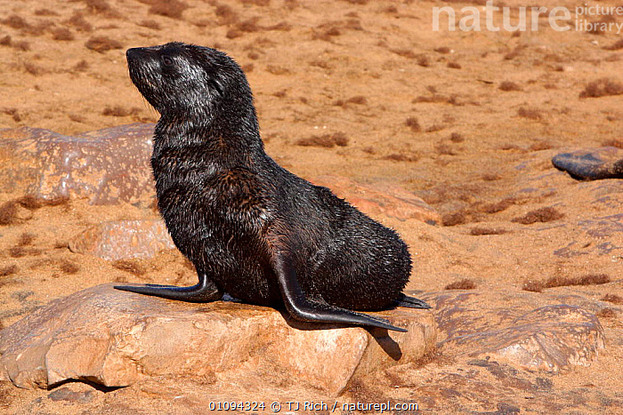 Cape fur seal pup {Arctocephalus pusillus pusillus} on beach, Cape Cross, Namibia, Southern Africa  ,  BABIES,BEACHES,COASTS,CUTE,GROUPS,HORIZONTAL,JUVENILE,MAMMALS,ONE,PINNIPEDS,PORTRAITS,PUPS,SEALS,SOLITARY,TRI,YOUNG  ,  TJ Rich
