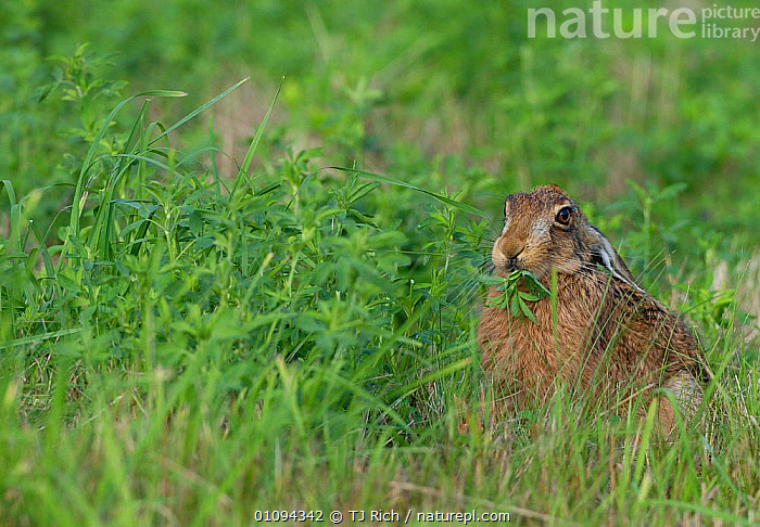 European / Brown hare {Lepus europaeus} feeding in field, Hampshire, England, UK  ,  BRITAIN,BRITISH,EUROPE,FIELDS,FOOD,HARES,HORIZONTAL,LAGOMORPH,LAGOMORPHS,MAMMAL,MAMMALS,ONE,PLANT,SINGLE,TRI,VEGETATION,WILDLIFE  ,  TJ Rich