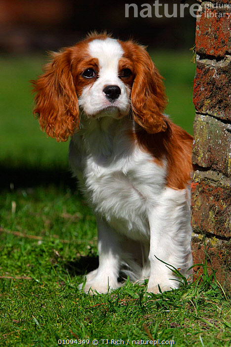 Cavalier King Charles spaniel puppy {Canis familiaris} portrait, Wiltshire, England, UK  ,  ADORABLE,BABIES,BREED,BREEDS,CANIDS,CAVALIER,CUTE,DOGS,DOMESTICATED,EUROPE,HEADS,JUVENILE,MAMMAL,MAMMALS,PEDIGREE,PET,PETS,PORTRAITS,PUPPIES,PUPPY,SPANIELS,SWEET,TRI,VERTICAL,YOUNG,United Kingdom  ,  TJ Rich
