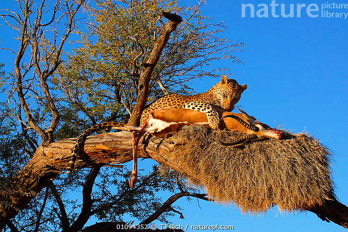 Leopard {Panthera pardus} in tree with springbok kill. Namibia, Southern Africa.  ,  CAPTIVE,CARCASS,CARNIVORE,CARNIVORES,CAT,CATS,EATING,FEEDING,HORIZONTAL,KILL,LEOPARDS,MAMMAL,MAMMALS,PREDATION,PREY,SOUTH,TREES,TRI,PLANTS,BEHAVIOUR,BIG CATS  ,  TJ Rich