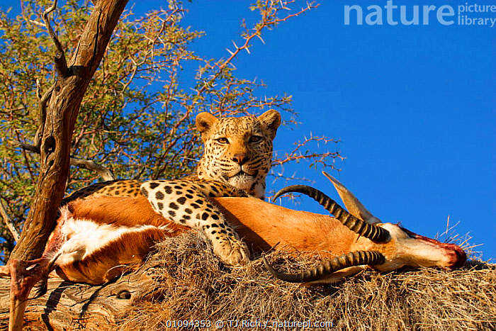Leopard {Panthera pardus} in tree with Impala kill  Namibia, Southern Africa  ,  CAPTIVE,CARCASS,CARNIVORE,CARNIVORES,CAT,EATING,FEEDING,HORIZONTAL,IMPALAS,LEOPARDS,MAMMAL,MAMMALS,MEAT,PREDATION,PREY,SOUTH,TREES,TRI,PLANTS,BEHAVIOUR,BIG CATS  ,  TJ Rich