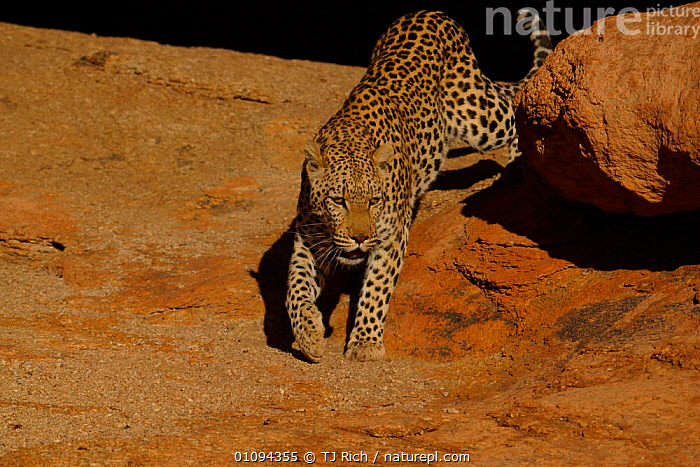 Leopard {Panthera pardus} coming out from rocks, Namibia, Southern Africa  ,  AFRICAN,CAPTIVE,CARNIVORE,CARNIVORES,CAT,DESERTS,HORIZONTAL,LEOPARDS,MAMMAL,MAMMALS,ONE,SOUTH,SPOTS,TRI,WALKING,BIG CATS  ,  TJ Rich