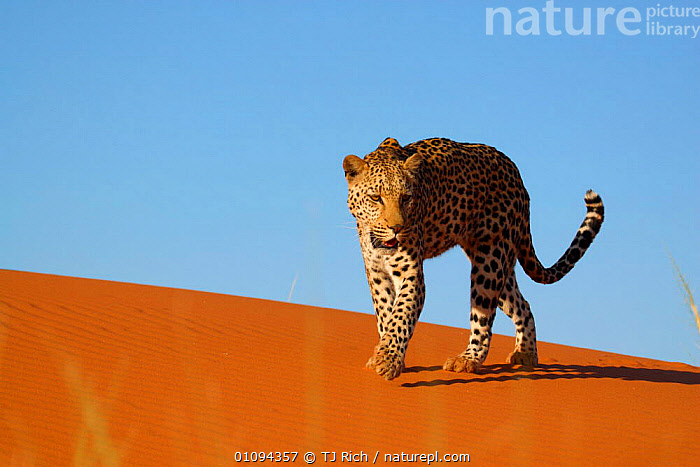 Leopard {Panthera pardus} walking along sand dune, Namibia, Southern Africa  ,  CAPTIVE,CARNIVORE,CARNIVORES,CAT,CATS,DESERT,DESERTS,DUNES,HORIZONTAL,LEOPARDS,MAMMAL,MAMMALS,ONE,SAND,SOLITARY,SOUTH,TRI,BIG CATS  ,  TJ Rich