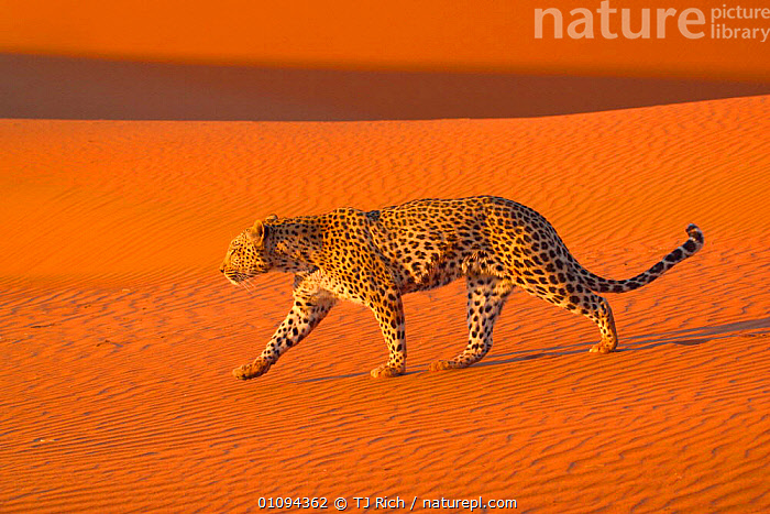 Leopard {Panthera pardus} walking in Namib desert Namibia, Southern Africa  ,  CAPTIVE,CARNIVORE,CARNIVORES,CAT,DESERT,DESERTS,DUNES,HORIZONTAL,LEOPARDS,MAMMAL,MAMMALS,ONE,PORTRAITS,PROFILE,SOUTH,SPOTS,TAME,TRAINED,TRI,WALKING,BIG CATS  ,  TJ Rich