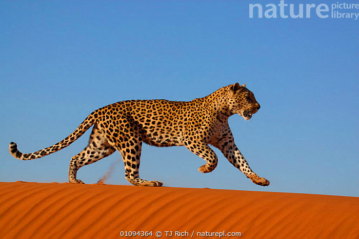 Leopard {Panthera pardus} running along sand dune ridge, Namibia, Southern Africa  ,  ACTION,CAPTIVE,CARNIVORE,CARNIVORES,CAT,DESERT,DESERTS,DUNES,HORIZONTAL,LEOPARDS,MAMMAL,MAMMALS,MOTION,MOVEMENT,NAMIB,ONE,RUNNING,SOUTHERN AFRICA,TAME,TRAINED,TRI,BIG CATS  ,  TJ Rich