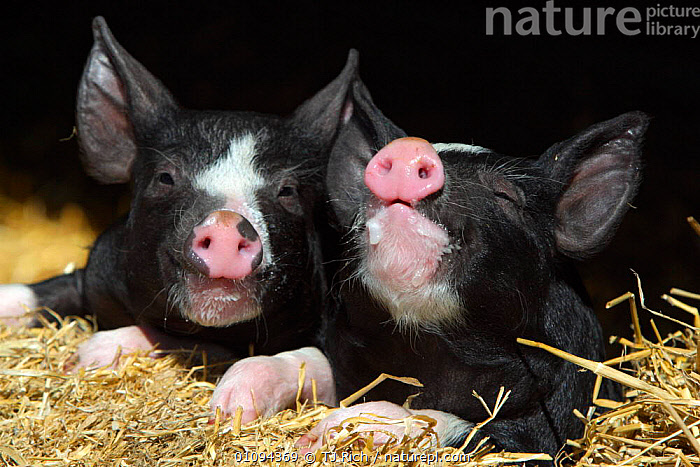 Two Domestic Berkshire piglets {Sus scofa domestica} Wiltshire, England, UK  ,  BABIES,BREED,BREEDS,BRITAIN,BRITISH,CUTE,DOMESTICATED,EUROPE,FACES,FARM,FARMING,FARMS,HEADS,HORIZONTAL,JUVENILE,LIVESTOCK,MAMMAL,MAMMALS,PAIR,TRI,YOUNG  ,  TJ Rich