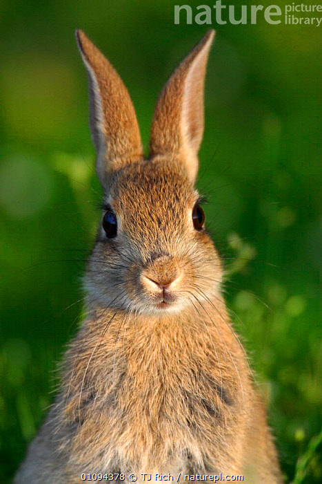 Young European rabbit {Oryctolagus cuniculus} head on portrait,  Hampshire, England, UK  ,  ADORABLE,AMUSING,BRITAIN,BRITISH,CUTE,EARS,EUROPE,FACE,FACES,FRONTAL,FUNNY,HEADS,HUMOROUS,HUMOUROUS,LAGOMORPH,LAGOMORPHS,MAMMAL,MAMMALS,ONE,OUTSTANDING,PORTRAITS,SWEET,TRI,VERTICAL,WILDLIFE,CONCEPTS,RABBITS,GettyBOV,United Kingdom  ,  TJ Rich
