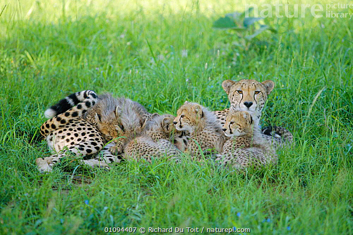 Cheetah mother suckling 3- month-old cubs {Acinonyx jubatus} Phinda Resource Centre,  ,  AFRICA,SOUTHERN AFRICA,FEMALES,CATS,GROUPS,PARENTAL,CARNIVORES,ENDANGERED,FEEDING,MAMMALS,JUVENILES,FAMILIES,SOUTH,THREATENED,YOUNG,DRINKING  ,  Richard Du Toit