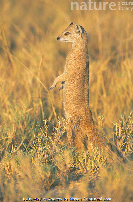 Yellow mongoose on lookout {Cynictis penicillata} Etosha NP, Namibia  ,  MAMMALS,VERTICAL,CARNIVORES,AFRICA,MONGOOSES,PORTRAITS,SOUTHERN AFRICA,STANDING  ,  Andrew Parkinson