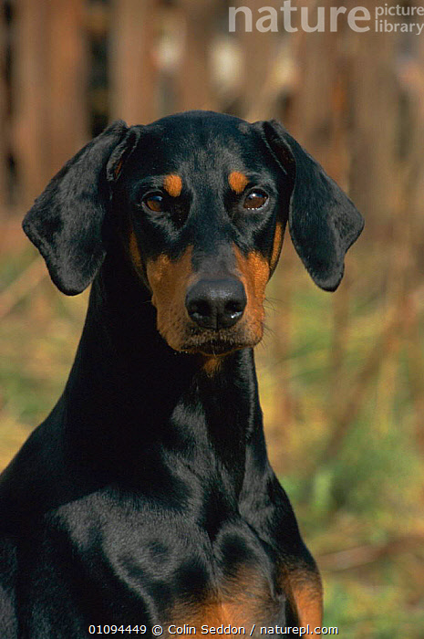 Doberman dog with uncropped ears {Canis familiaris} Scotland, UK  ,  PORTRAITS,DOGS,BREEDS,MAMMALS,CROPPED,CARNIVORES,VERTICAL,EUROPE,PETS,Canids , dobermann, United Kingdom , dobermann, United Kingdom  ,  Colin Seddon