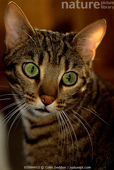 Spotted bengal cat portrait {Felis catus}  ,  CATS,VERTICAL,PETS,EUROPE,PORTRAITS  ,  Colin Seddon