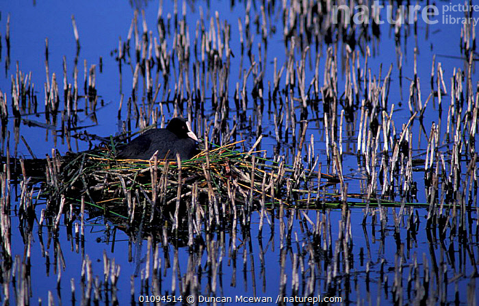 Coot on nest in wetlands {Fulica atra} Perthshire Scotland  ,  BIRDS,NESTS,WATER,REEDS,SCOTLAND,WATERFOWL,COOTS,NESTING BEHAVIOUR,EUROPE,UK,United Kingdom,Reproduction,British  ,  Duncan Mcewan