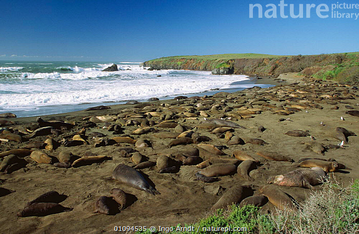 Northern elephant seals {Mirounga augustirostris} hauled out resting on beach, Ano Nuevo State Reserve, California, USA  ,  BEACHES,CARNIVORES,COASTAL WATERS,COASTS,GROUPS,MAMMALS,MARINE,NORTH AMERICA,PACIFIC,PINNIPEDS,RESERVE,SEA,SEALS,SHORELINE,SLEEPING,USA,VERTEBRATES, CARNIVORES , CARNIVORES  ,  Ingo Arndt