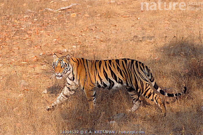 Walking profile of Bengal tiger {Panthera tigris tigris} Bandhavgarh NP India  ,  BANDHAVGARH,CARNIVORES,ENDANGERED,INDIA,INDIAN SUBCONTINENT,KU,MADHYA,MAMMALS,NP,PRADESH,PROFILE,STRIPES,THREATENED,TIGERS,TROPICAL DRY FOREST,ASIA,NATIONAL PARK,BIG CATS  ,  E.A. KUTTAPAN