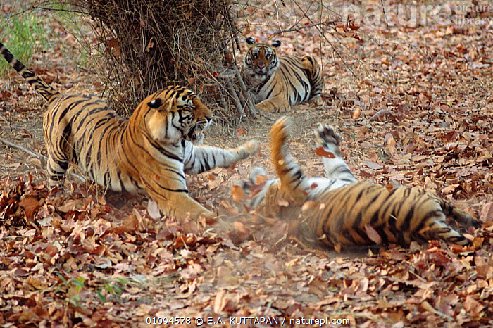 Bengal tigers dispute over prey {Panthera tigris tigris}  Bandhavgarh NP, India  ,  ACTION,AGGRESSION,BANDHAVGARH,BEHAVIOUR,CARNIVORES,COMPETITION,DISPUTE,DRAMATIC,ENDANGERED,FIGHTING,FOOD,HORIZONTAL,INDIA,INDIAN SUBCONTINENT,INTERACTION,KU,MADHYA,MAMMALS,NP,POWERFUL,PRADESH,PREY,SUBMISSION,SUBMISSIVE,THREATENED,WILD,ASIA,CONCEPTS,NATIONAL PARK,TIGERS,BIG CATS  ,  E.A. KUTTAPAN
