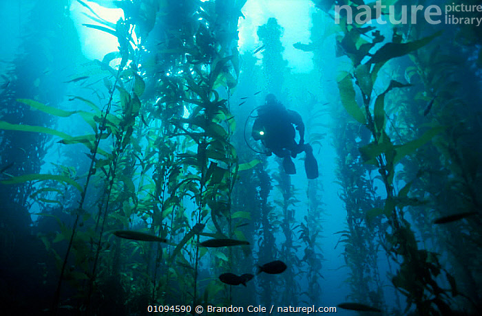 Scuba diver exploring in Kelp forest {Macrocystis pyrifera} California, Pacific Ocean.  NOT FOR SALE IN USA  ,  ALGAE,BCO,DIVING,ECOSYSTEM,EXPLORATION,FISH,FRONDS,HABITAT,HORIZONTAL,LEISURE,MARINE,PEOPLE,PLANTS,PYRIFERA,SCUBA,SEA,SEALIFE,SEAWEED,SPORT,STALKS,TEMPERATE,UNDERWATER, SEAWEED  ,  Brandon Cole