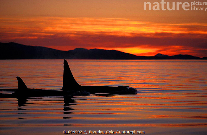 Killer whales {Orcinus orca} surfacing at dusk San Juan Islands, Washington, USA. NOT FOR SALE IN USA  ,  AMERICA,BCO,CALM,CETACEAN,CETACEANS,DORSAL,EVENING,FINS,HORIZONTAL,MAMMAL,MAMMALS,MARINE,NORTH,OCEAN,PACIFIC,PEACEFUL,SEA,SILHOUETTES,SUNSET,SURFACE,TEMPERATE,TOOTHED,TWO,WHALE,CONCEPTS,USA,North America  ,  Brandon Cole