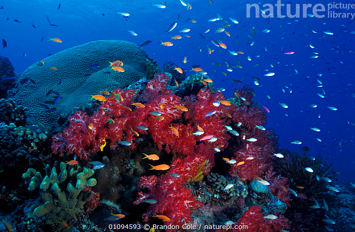 Coral reef landscape with tropical fish, Fiji, South Pacific NOT FOR SALE IN USA  ,  CNIDARIA,ANTHOZOANS,BCO,BIODIVERSITY,COLOUFUL,CORAL REEFS,CORALS,ECOSYSTEM,HABITAT,HEALTHY,HORIZONTAL,INVERTEBRATES,LANDSCAPE,MARINE,OCEAN,OSTEICHTHYES,PLANTS,PRISTINE,REEFS,SEA,SEASCAPES,TROPICAL,UNDERWATER,VIBRANT, Cnidaria  ,  Brandon Cole