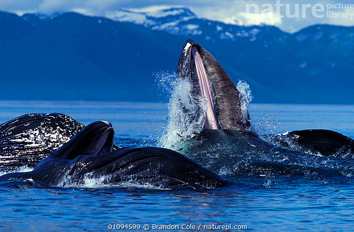 Humpback whales {Megaptera novaeangliae} lunge feeding at surface, Alaska, USA, Pacific Ocean NOT FOR SALE IN USA  ,  ACTION,ALASKA,AMERICA,BALEEN,BCO,BUBBLE,BUBBLE NET,CETACEAN,CETACEANS,EATING,ENDANGERED,EXPLOSIVE,FREDERICK,GROUPS,HEADS,HERRING,HORIZONTAL,LEVIATHAN,MAMMAL,MAMMALS,MARINE,MOUTHS,NET,NETTING,NORTH,POWERFUL,SEA,SEALIFE,SOUND,TEMPERATE,THREATENED,NORTH AMERICA,CONCEPTS  ,  Brandon Cole