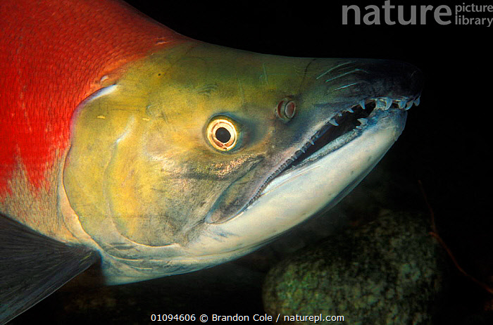 Head portrait of Sockeye salmon {Oncorhynchus nerka} Adams River, British Columbia, Canada. NOT FOR SALE IN USA  ,  AMERICA,AQUATIC,BC,BCO,CLOSE UPS,ENDANGERED,EYES,FACES,FISH,FRESHWATER,HEADS,HORIZONTAL,JAW,MARINE,MOUTHS,NORTH,NORTHWEST,OSTEICHTHYES,PACIFIC,PORTRAITS,RED,RIVERS,SEA,THREATENED,UNDERWATER,CANADA,North America  ,  Brandon Cole