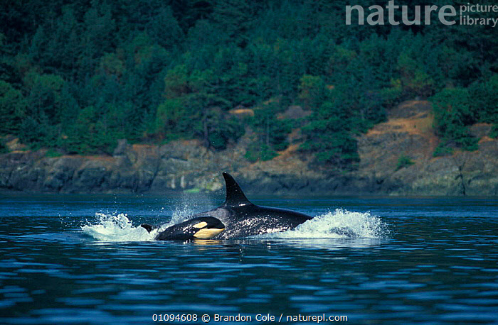 Killer whale and calf {Orcinus orca} surfacing near San Juan Islands, Washington, North America. NOT FOR SALE IN USA  ,  ACTION,AMERICA,BCO,CALF,CETACEANS,COASTAL,COASTAL WATERS,COASTS,FAMILIES,HORIZONTAL,ISLANDS,JUVENILE,MARINE,NORTH,OCEAN,ORCA,PACIFIC,PAIR,PORPOISING,SEA,SURFACE,SURFACING,SWIMMING,TEMPERATE,TOOTHED,TRAVELLING,TWO,USA,YOUNG,NORTH AMERICA  ,  Brandon Cole