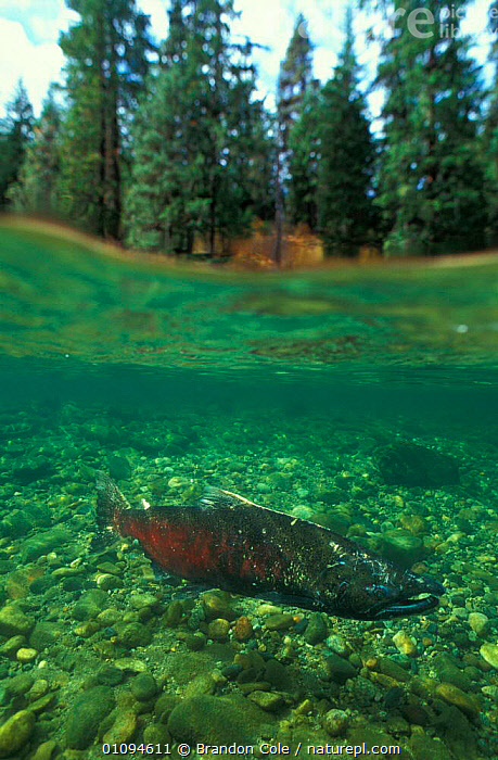 Split-level view of Chinook salmon {Oncorhynchus tshawytshcha} in river in Washington, USA NOT FOR SALE IN USA  ,  AMERICA,AQUATIC,BCO,CHINOOK,ENDANGERED,FISH,FRESHWATER,LEVEL,MALE,NORTH,NORTHWEST,OSTEICHTHYES,PACIFIC,RIVERS,SPLIT,THREATENED,UNDERWATER,VERTICAL,VIEW,WATER  ,  Brandon Cole