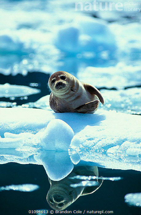 Portrait of Common / Habour seal {Phoca vitulina} on ice floe, Le Conte Glacier, South East Alaska, USA NOT FOR SALE IN USA  ,  AMERICA,AQUATIC,BCO,COLD,CUTE,GLACIERS,HARBOR,MAMMAL,MAMMALS,MARINE,NORTH,ONE,PINNIPED,PINNIPEDS,REFLECTIONS,SE,SINGLE,SNOW,SOUTHEAST,VERTICAL,WATER,GEOLOGY, CARNIVORES , CARNIVORES , CARNIVORES  ,  Brandon Cole