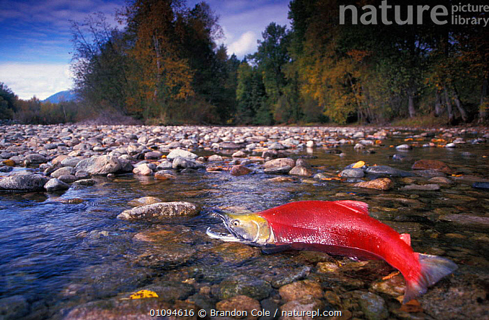 Single Sockeye salmon {Oncorhynchus nerka} stranded on Adams river, British Columbia, Canada, Endangered species. NOT FOR SALE IN USA  ,  AMERICA,AQUATIC,AUTUMN,BCO,DANGER,DEATH,FALL,FISH,FRESHWATER,HABITAT,HORIZONTAL,LANDSCAPES,MIGRATION,MOUTHS,NORTH,NORTHWEST,ONE,OSTEICHTHYES,PACIFIC,PROFILE,RED,RIVERS,STRANDING,THREATENED,TROUBLE,NORTH AMERICA,CANADA  ,  Brandon Cole