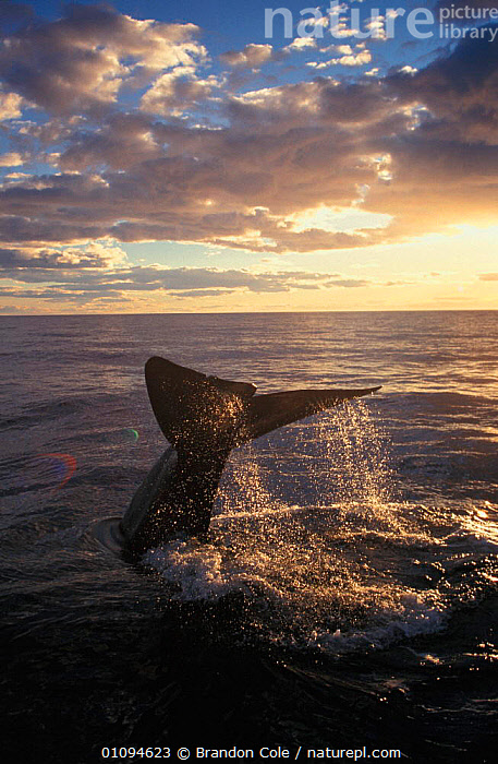 Southern right whale {Balaena glacialis australis} diving at surface, Golfo Nuevo, South America, Endangered species.  ,  AMERICA,AQUATIC,ARGENTINA,ATMOSPHERIC,BALEEN,BCO,CALM,CETACEANS,DUSK,EVENING,FLUKES,LEVIATHAN,MAMMAL,MAMMALS,OCEAN,ONE,PATAGONIA,PEACEFUL,SEA,SUNSET,TAIL,TAILS,THREATENED,VERTICAL,WATER,CONCEPTS  ,  Brandon Cole