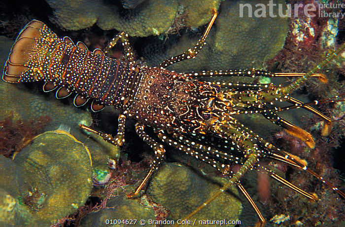 Portrait of Rock lobster {Panulirus guttatus} Dominica Caribbean Atlantic Ocean, also known as Spotted spiny lobster. NOT FOR SALE IN USA  ,  ANTENNAE,AQUATIC,BCO,CORAL,CRUSTACEAN,CRUSTACEANS,HORIZONTAL,INVERTEBRATES,LEGS,MARINE,PORTRAITS,REEFS,SEA,UNDERWATER  ,  Brandon Cole