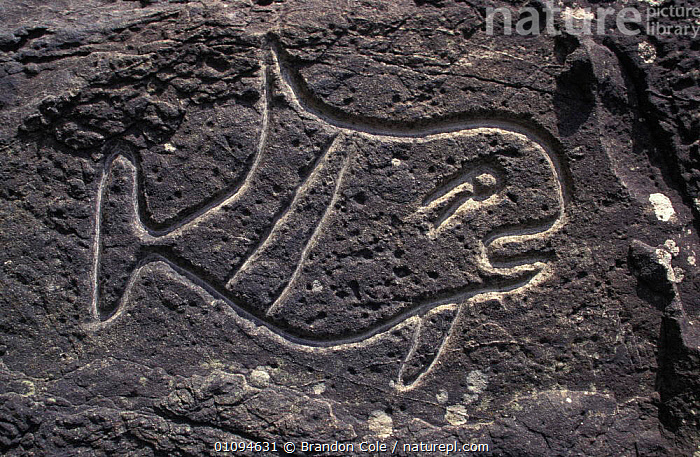Rock petroglyphs of Killer whale {Orcinus orca} Wedding Rocks, Washington, North America. NOT FOR SALE IN USA  ,  AMERICA,ANCIENT,ART,BCO,CARVINGS,CETACEAN,CETACEANS,CULTURES,DRAWINGS,HORIZONTAL,INDIAN,INDIANS,MAMMAL,MAMMALS,MARINE,NORTH,OLD,OZETTE,PRIMITIVE,SYMBOLIC,TOOTHED,WHALES  ,  Brandon Cole